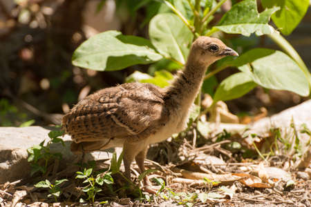 Portrait of a common turkey (Meleagris gallopavo) chicklet in natural environement