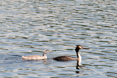 hatchling: Family of great crested grebes, seen in spring 2016 at a sea (hoehenfelder sea) near cologne, germany. Stock Photo