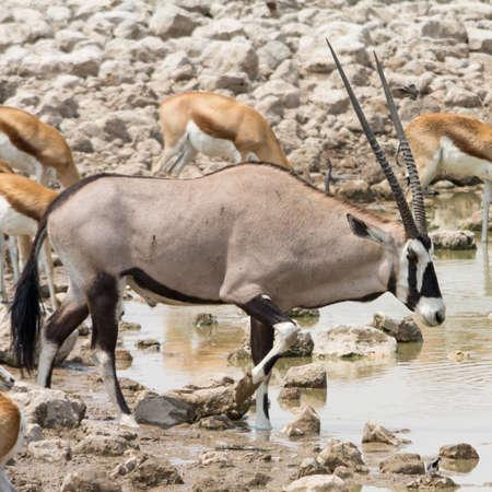 southern africa: Oryx at waterhole, seen at safari tour through namibia, southern africa. Stock Photo