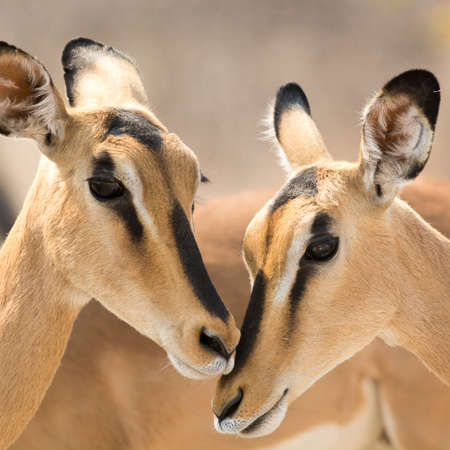 southern africa: Portrait of Two Blackfaced Impala , seen at safari tour through namibia, southern africa.
