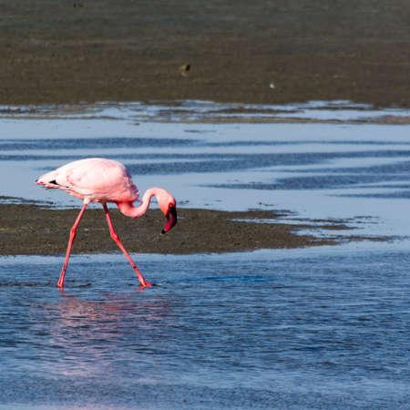Flamingo at the beach near swakopmund, seen at safari tour through namibia, southern africa.