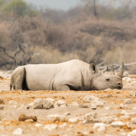 southern africa: Rhinoceros, seen at safari tour through namibia, southern africa.