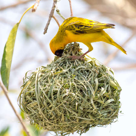 weaver bird nest: Yellow masked weaver bird building nest, seen at safari tour through namibia, southern africa.