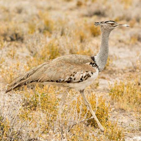 southern africa: Kori Bustard, seen at safari tour through namibia, southern africa.