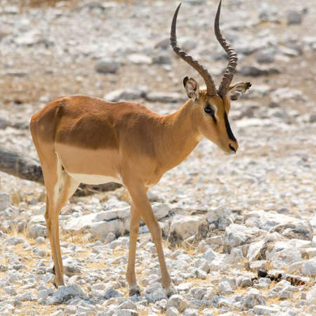 southern africa: Impala in Africa, seen at safari tour through namibia, southern africa. Stock Photo