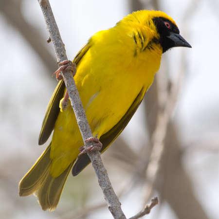 southern africa: Yellow masked weaver bird in tree, seen at safari tour through namibia, southern africa.