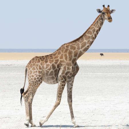 southern africa: Giraffe, seen at safari tour through namibia, southern africa.