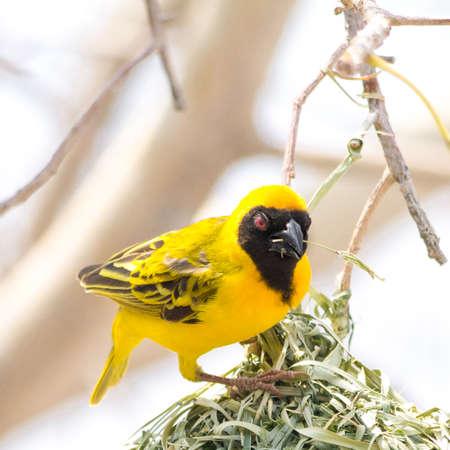 weaver bird: Yellow masked weaver bird in tree, seen at safari tour through namibia, southern africa.