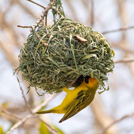 黄色い仮面ウィーバー鳥の巣、ナミビア、アフリカ南部をサファリ ツアーで見られる建物です。