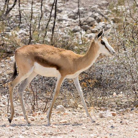 antidorcas: Springbok, seen at safari tour through namibia, southern africa.