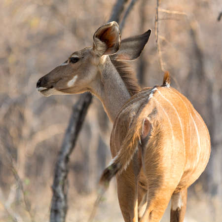 Kudu, seen at safari tour through namibia, southern africa. Stock Photo
