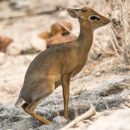 southern africa: Damara Dik Dik, seen at safari tour through namibia, southern africa. Stock Photo
