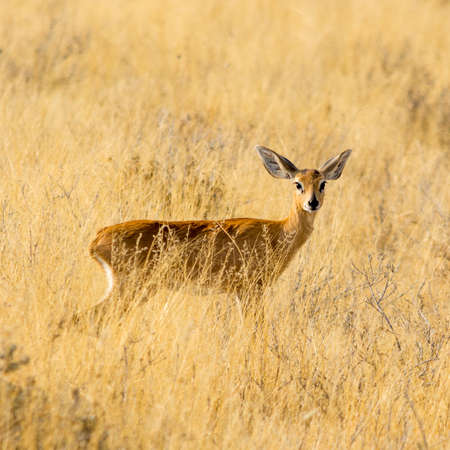 campestris: Steenbok, seen at safari tour through namibia, southern africa.