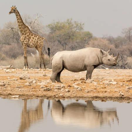 pozo de agua: Jirafa y Rhino en la charca, visto a través de safari Namibia, África meridional.