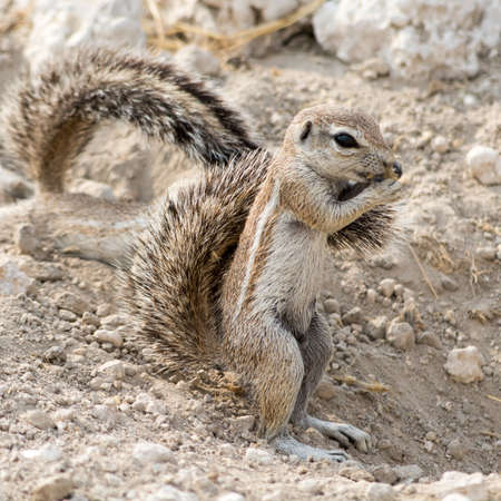 southern africa: Ground Squirrel., seen at safari tour through namibia, southern africa.