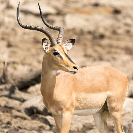 southern africa: Blackfaced Impala, seen at safari tour through namibia, southern africa.