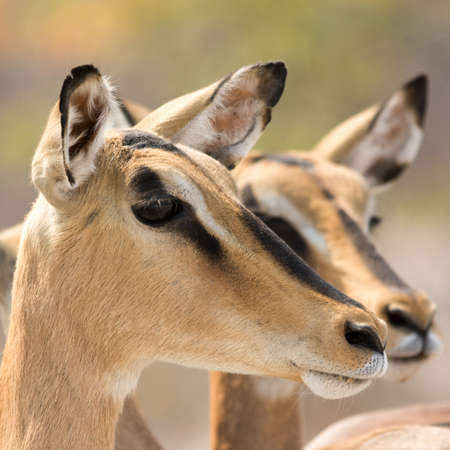 southern africa: Portrait of Two Blackfaced Impala, seen at safari tour through namibia, southern africa.