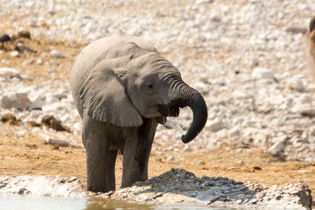Thirsty calf of african elephant at a waterhole