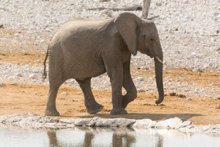 pozo de agua: Thirsty calf of african elephant at a waterhole