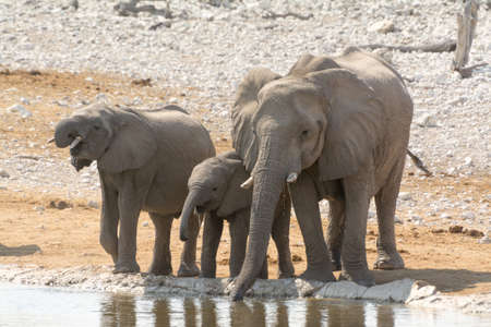 at waterhole: Elephant family with calf at waterhole seen in namibia