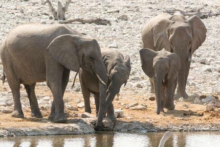 pozo de agua: Familia del elefante con el becerro en el pozo de agua visto en Namibia