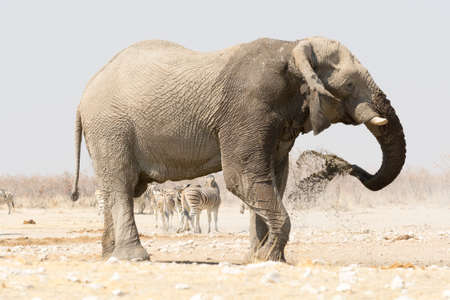 Lonely Elephant at a waterhole with zebras in the background, seen at namibia, africa Stock Photo
