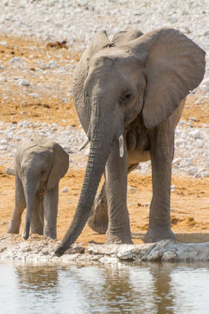 Elephant family with calf at waterhole seen in namibia