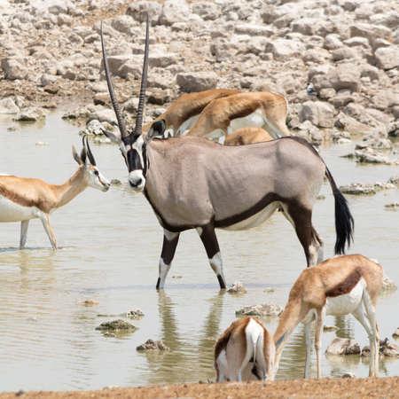 pozo de agua: Oryx Gazella (Gemsbok) con otros antílopes en el pozo de agua artificial, Namibia, África