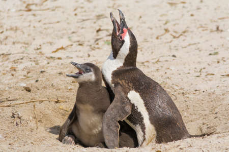 Still of Penguin Mother and Chicklet, seen at coastal region of south africa, africa