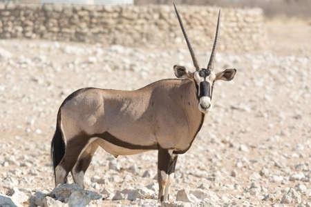 pozo de agua: Individual Oryx Gazella (Gemsbok) en la charca artificial, Namibia, África