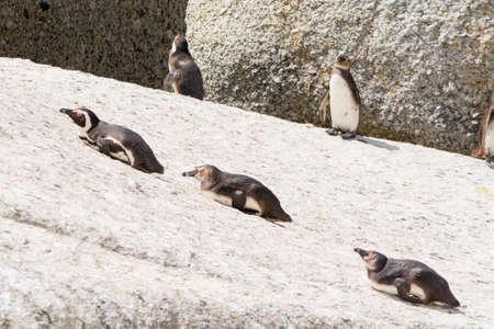 jackass: lazy jackass penguins lying on rocks in the sun, seen at coastal region of south africa