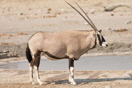 Single Oryx Gazella (Gemsbok) at artificial waterhole, namibia, africa Stock Photo