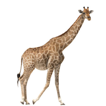 jirafa fondo blanco: Giraffe standing isolated on white background Foto de archivo