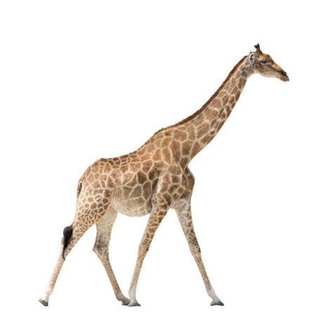 jirafa fondo blanco: Walking Giraffe isolated on white background