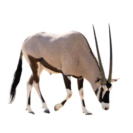 Oryx Gazella (Gemsbok) searching food isolated on white background Stock Photo