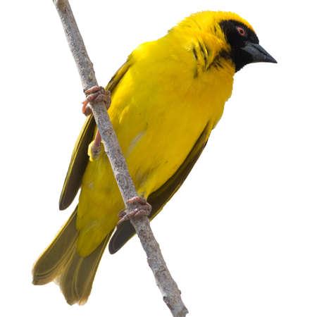 weaver bird: Yellow Weaver bird on tree isolated on white background Stock Photo