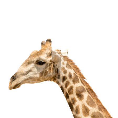 jirafa fondo blanco: la cabeza y el cuello de la jirafa aislados sobre fondo blanco