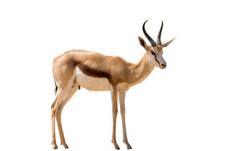 Namibian Springbok standing, full body, isolated on white background Imagens