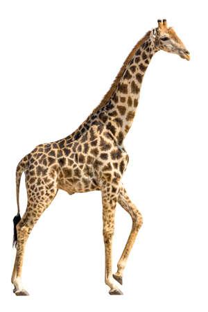 jirafa fondo blanco: Giraffe standing and lifting a foot isolated on white background Foto de archivo