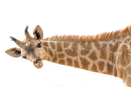 lowering: Giraffe lowering head and neck horizontal isolated on white background