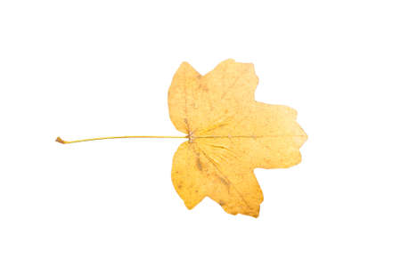 sag: Piece of autumn leaves withering in case isolated on white background