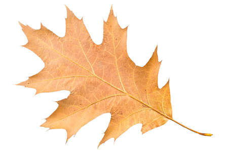 Piece of autumn leaves withering in case isolated on white background