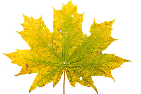 Close up of maple leave in state of withering isolated on white background Stock Photo