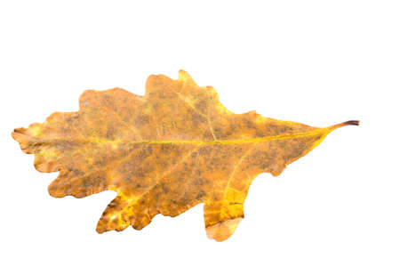 wilting: Piece of autumn leaves withering in case isolated on white background