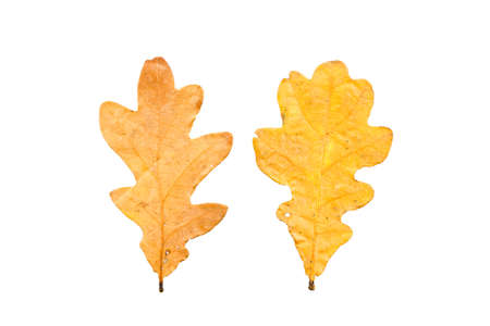 set of two autumn leaves in different states of withering isolated on white background