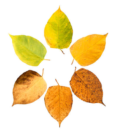 wilting: Six pieces of leave in different states of withering isolated on white background, building a circle Stock Photo