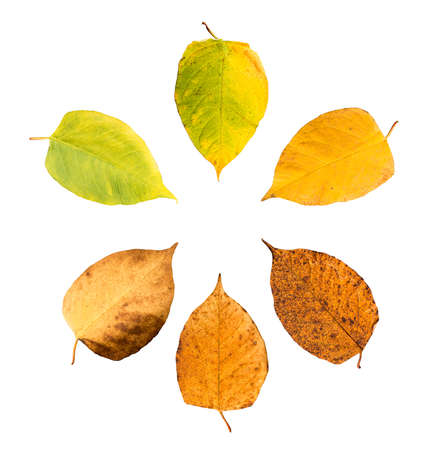 Six pieces of leave in different states of withering isolated on white background building a circle