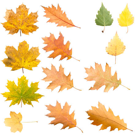 Collection of maple leaves in different stades of withering isolated on white background Stock Photo