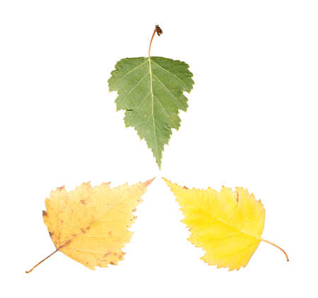 set of three maple leaves in different states of withering isolated on white background