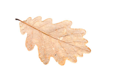 wilting: oak tree leaves in different states of withering isolated on white background Stock Photo